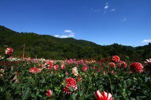 両神山麓ダリア園